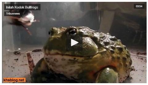 kodok bullfrog yang dicari presiden jokowi