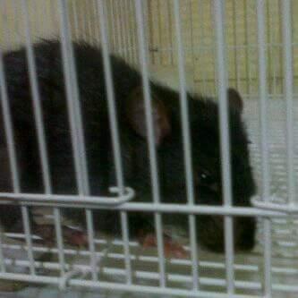 tikus ghoib asal tambak asri, tajinan, malang, jawa timur