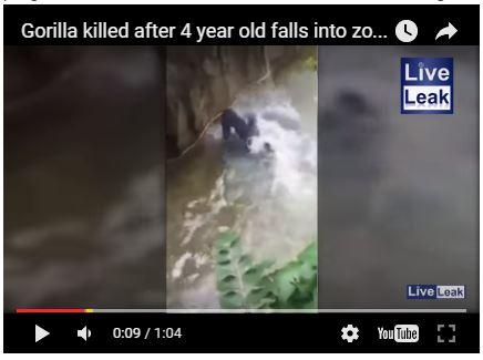 bayi diseret oleh gorilla dikebun binatang amerika