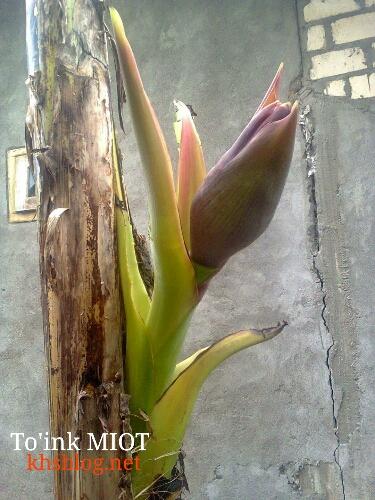 mitos pisang anomali yang brojol dari batangnya
