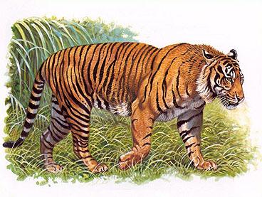 harimau-jawa1
