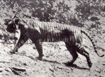 harimau-jawa2