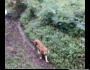 Heboh diduga penampakan Harimau Jawa [ Panthera Tigris Sondaica], antara harapan danhoax…