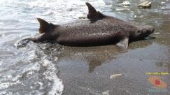 foto ikan hiu langka yang ditemukan jeffry nggala di pantai manado tahun 2016 (2)
