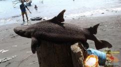 foto ikan hiu langka yang ditemukan jeffry nggala di pantai manado tahun 2016 (3)