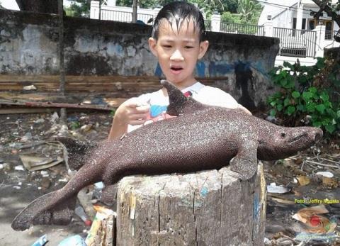 foto ikan hiu langka yang ditemukan jeffry nggala di pantai manado tahun 2016 (5)