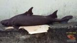 foto ikan hiu langka yang ditemukan jeffry nggala di pantai manado tahun 2016 (6)