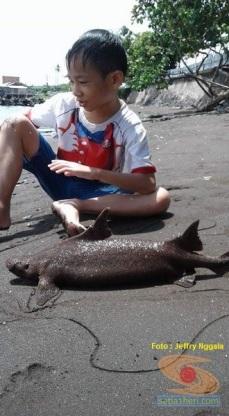 foto ikan hiu langka yang ditemukan jeffry nggala di pantai manado tahun 2016 (7)