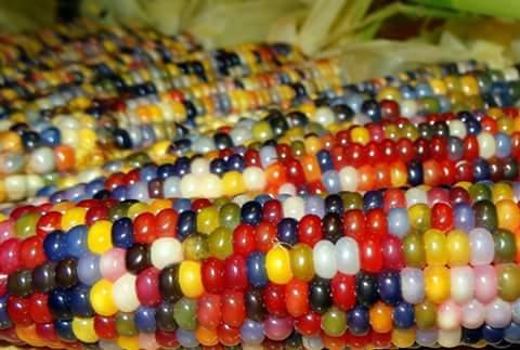 jagung-warna-warni-dari-indonesia01