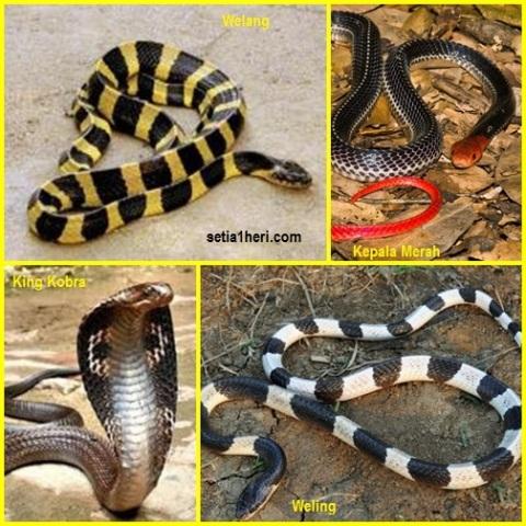 ular-berbisa-di-indonesia