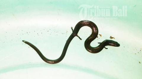 ular-berkaki-4_20161018_131202