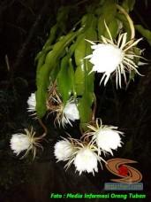 mitos-seputar-bunga-wijaya-kusuma-1