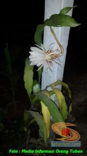 mitos-seputar-bunga-wijaya-kusuma-2