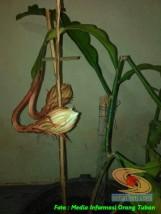 mitos-seputar-bunga-wijaya-kusuma-4