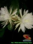 mitos-seputar-bunga-wijaya-kusuma-5