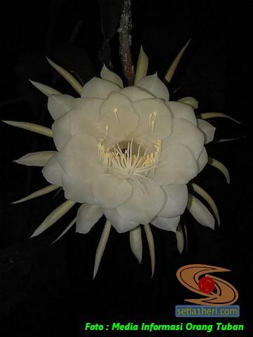 mitos-seputar-bunga-wijaya-kusuma-7