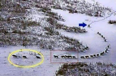 belajar-kepemimpinan-dari-rombonga-serigala-salju