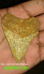 Khasiat Fosil Ilat Warak (LidahBadak)
