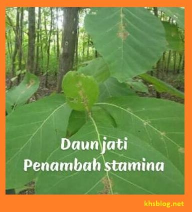 khasiat daun jati bagi manusia